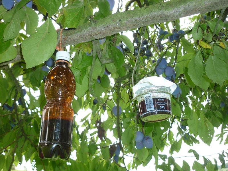Kirschessigfliege bekämpfung biologisch