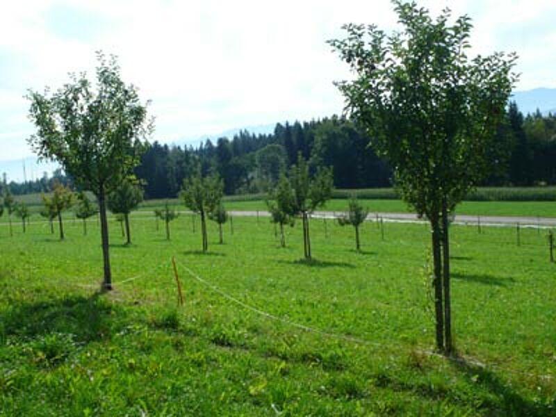 liste des vari t s d 39 arbres fruitiers haute tige. Black Bedroom Furniture Sets. Home Design Ideas